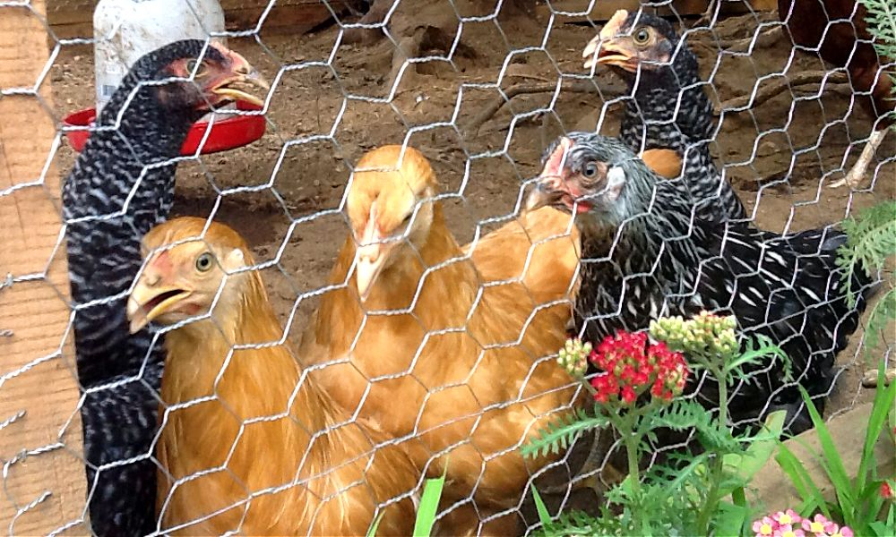 Pullets